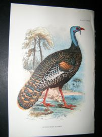 Allen 1890's Antique Bird Print. Honduras Turkey